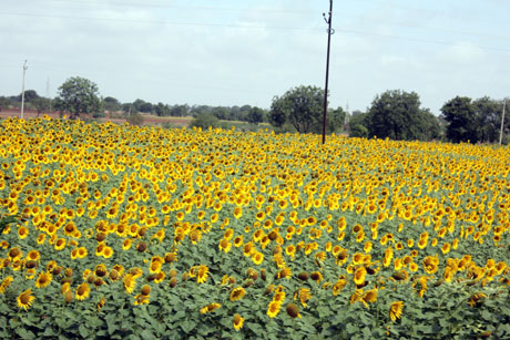Sunflowers in Karnataka